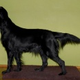 Ater Ornamentum - hodowla psów Flat coated retriever